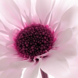 20 (1) - Pink chrysanthemum