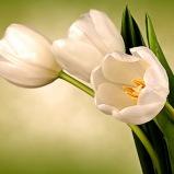54 - White Tulips