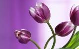 8 - Tulips