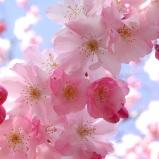 cherry-blossom-pink-flowers-3