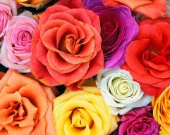 Love_Blooms_Roses,_Bunch_Of_Flowers